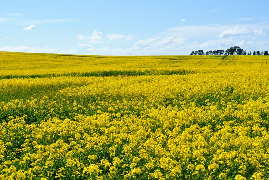Yellow rapeseed flower field in Victoria Australia
